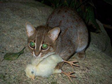 Дикая кошка поймала цыплёнка