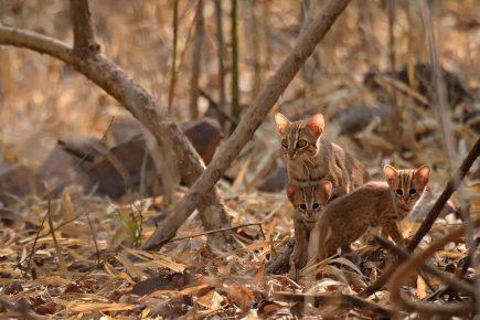 Ржавая кошка с двумя детёнышами в сухом лесу