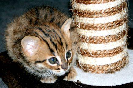 Детёныш ржавой кошки
