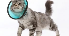 Кот в защитном воротнике