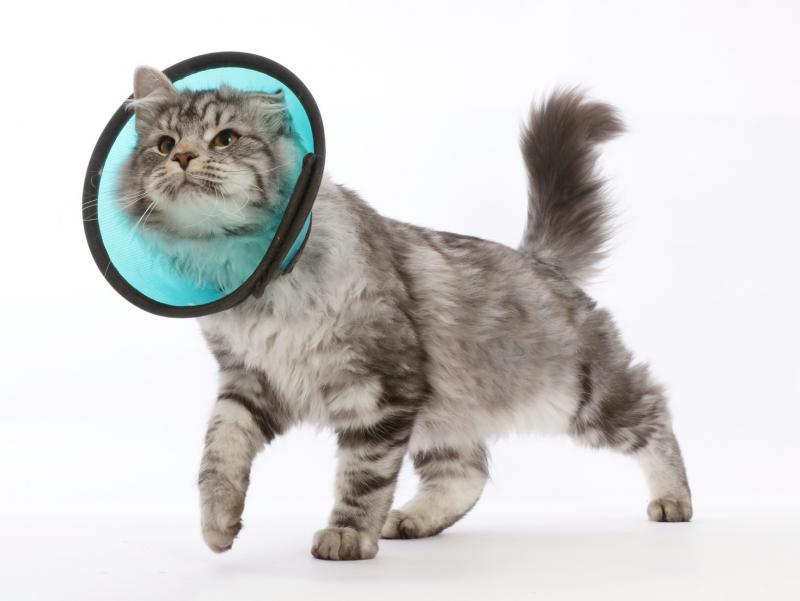 Воротник для кошек: как сделать воротник своими руками в домашних условиях