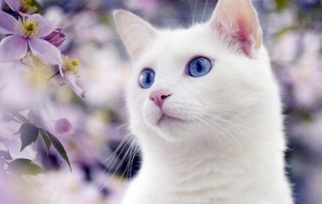 Белая кошка среди фиалок