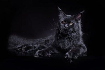 Чёрный пушистый кот