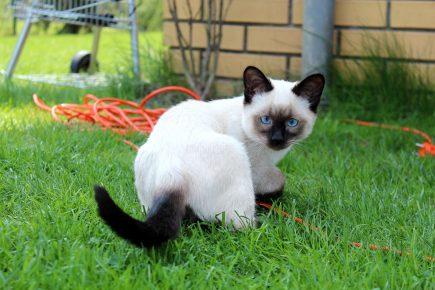 Кошка колорпоинт