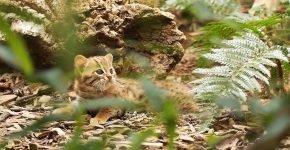 Детёныш ржавой кошки в лесу