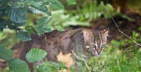 Подвид ржавой кошки, обитающей в Шри-Ланке