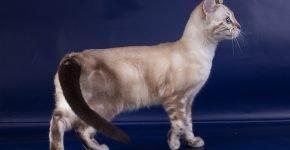 Котёнок бенгальский