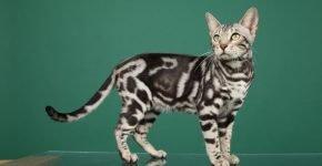 Бенгальская кошка серебряная