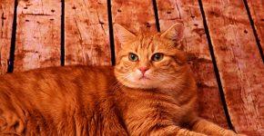 Кошка на деревянном полу