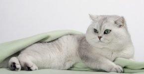 Шиншилла кот