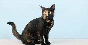 Черная черепаховая кошка