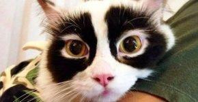 Кошка-панда