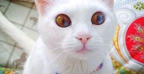 Кошка с гетерохромией