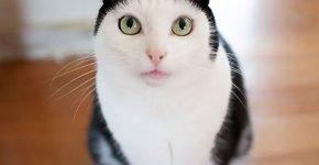 Кошка с «шапочкой»