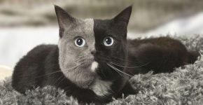 «Двуликая» кошка