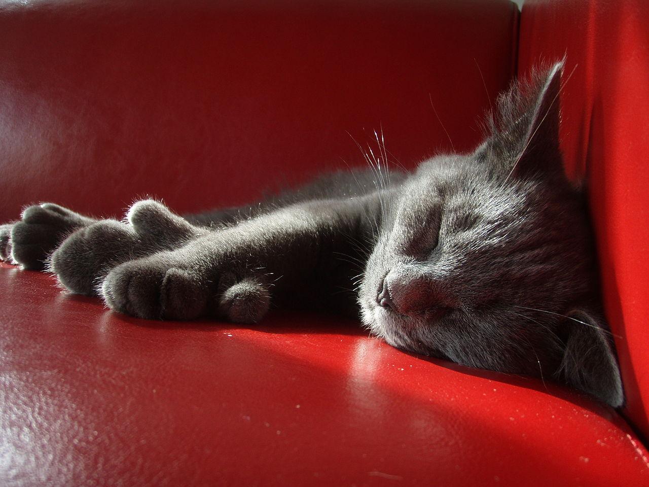 Дымчатые котята, кошки и коты скоттиш-фолд и страйт