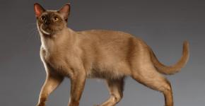 Бурманская кошка светлая