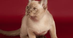 Кошка красивого окраса