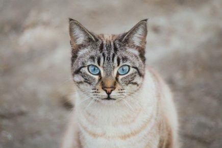 Кошка с голубыми глазами смотрит в камеру
