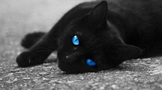 Чёрная кошка с голубыми глазами