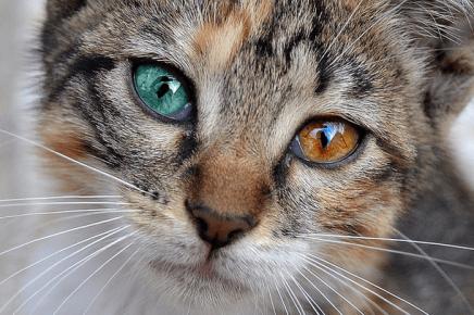 Охос азулес с разноцветными глазами