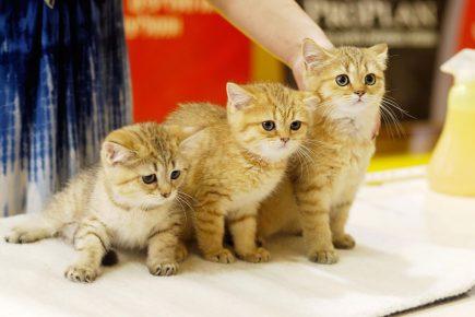 Котята на выставке