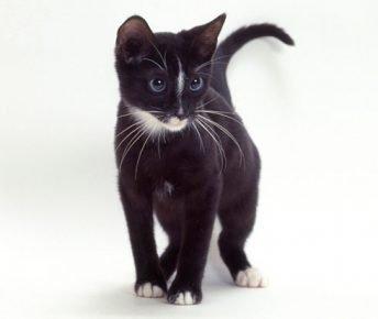 Чёрный котёнок охос азулес
