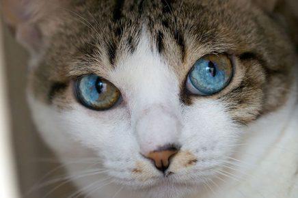 Кошка с секторной гетерохромией