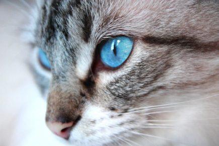 Озос азулес с яркими глазами