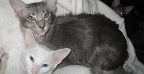Голубой и белый голубоглазый яванезы