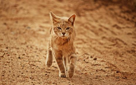 Аравийский мау бежит по песку