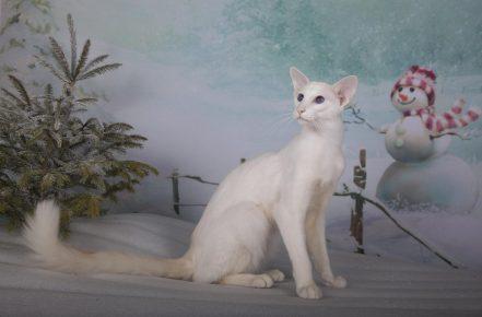 Белый яванез
