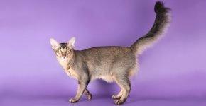 Длинношёрстная яванская кошка