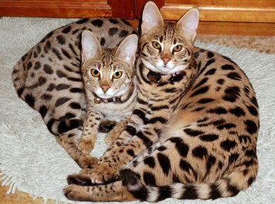 Саванна — две кошки на ковре