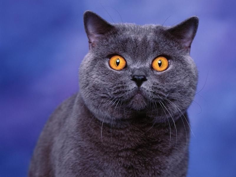 Как назвать кота британца (мальчика) — интересные клички
