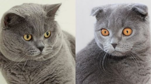 Шотландский и британский коты