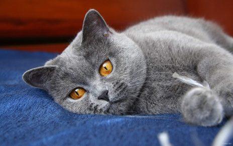 Серый британский кот лежит