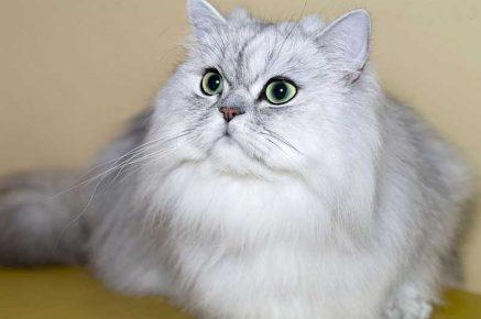 Классический тип кошки персидской породы