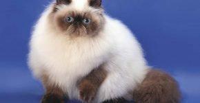 Кот окраса колор-пойнт