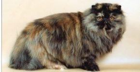 Персидский кот (черепаха)