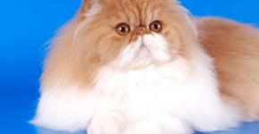 Персидский кот биколор