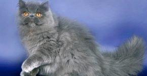 Персидский кот голубой