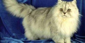 Персидский кот оловянный