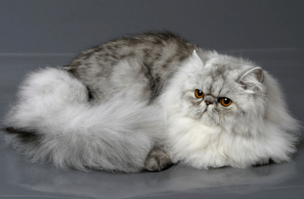 Персидский кот коротконосый