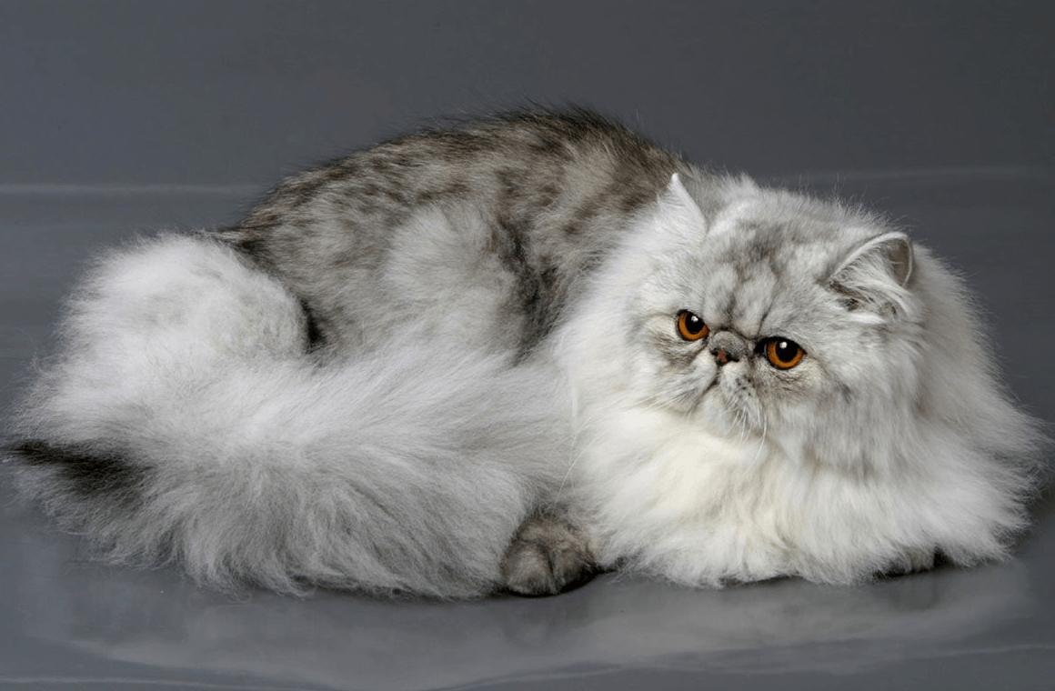 персидская кошка виды