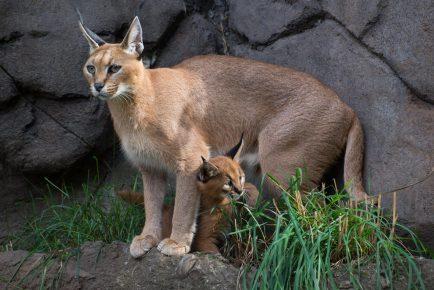Кошка породы каракет с детёнышем