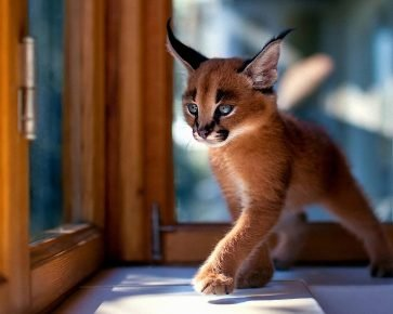 Котёнок-каракет у окна
