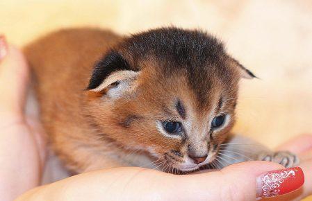 Котёнок породы каракет