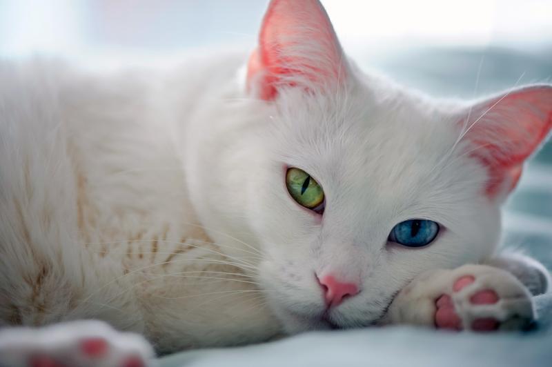 Толкование примет про белых кошек. Народные приметы про кошек Кошка с разными глазами приметы
