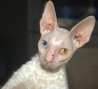 Корниш-рекс с разными глазами